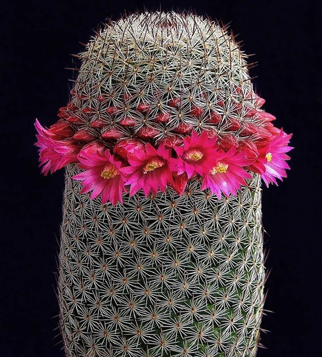 Keine Blätter, selten Blüten und ein einziger Wasserspeicher: ein Kaktus   | Foto: Margolin