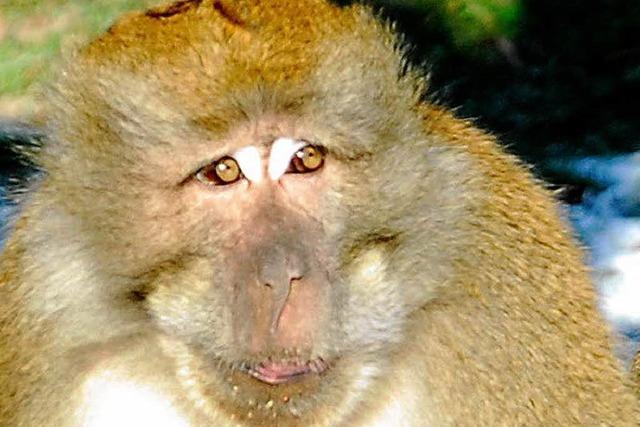 Wo ist das Mittagsfresschen? Die ganze Affenbande brüllt