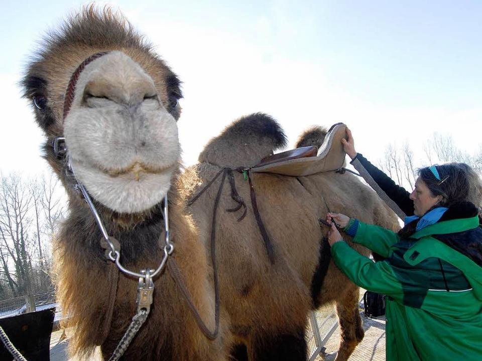Kamel gesattelt und…  | Foto: Michael Bamberger