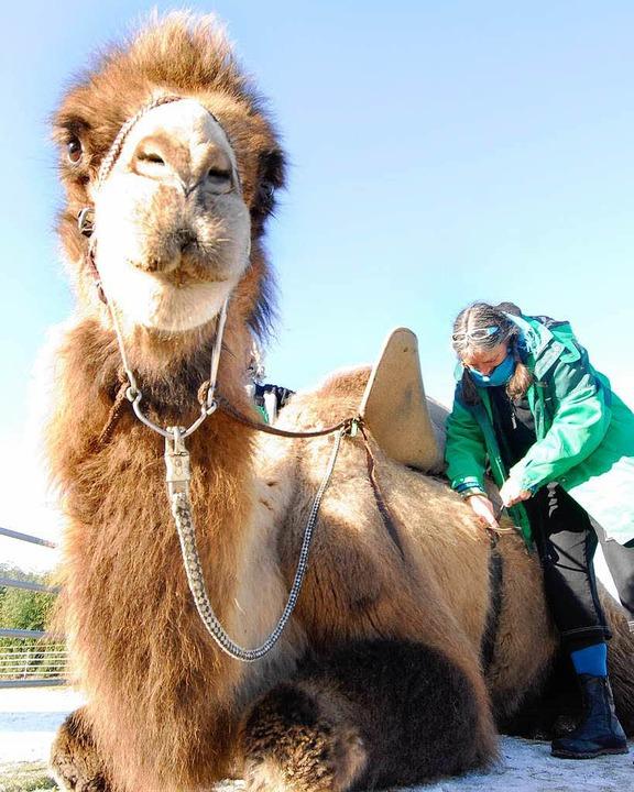 Ich bin ein Kamel – holt mich hier raus!  | Foto: Michael Bamberger