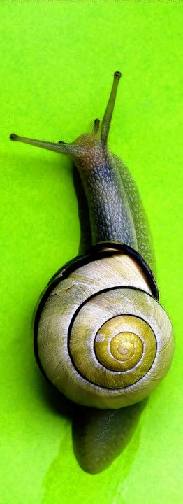 Sieht schön aus und schmeckt auch gut: badische Weinbergschnecke     | Foto: Schoenen