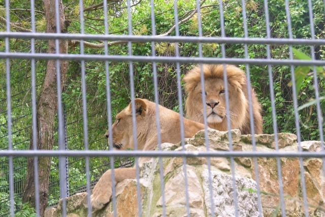 Löwen und Tiger auf dem Bauernhof