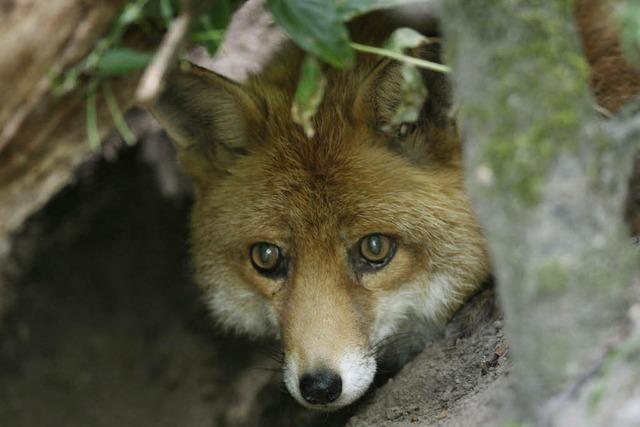 Der Fuchs geht um – immer häufiger auch in der Stadt