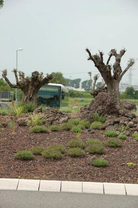 Die  Olivenbäume auf der Verkehrsinsel... treiben aber schon wieder Blätter.       Foto: heike lemm