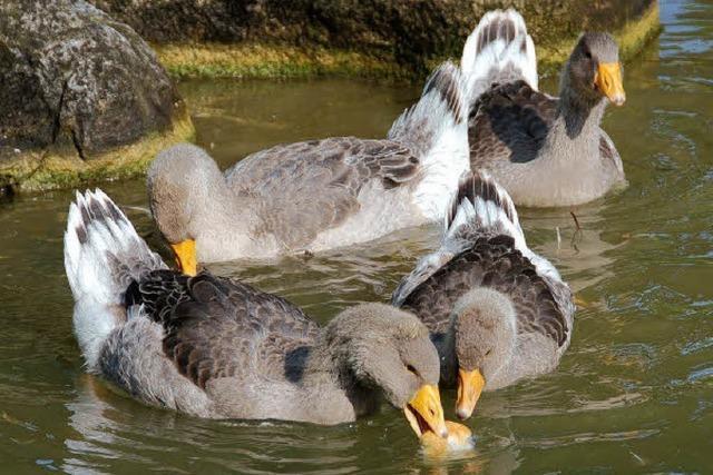 Zu viel Futter, zu viele Wasservögel