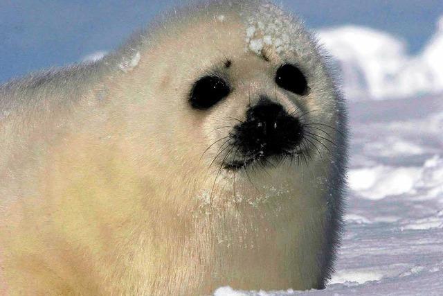 Kanadische Regierung gibt Jagd auf Robben frei