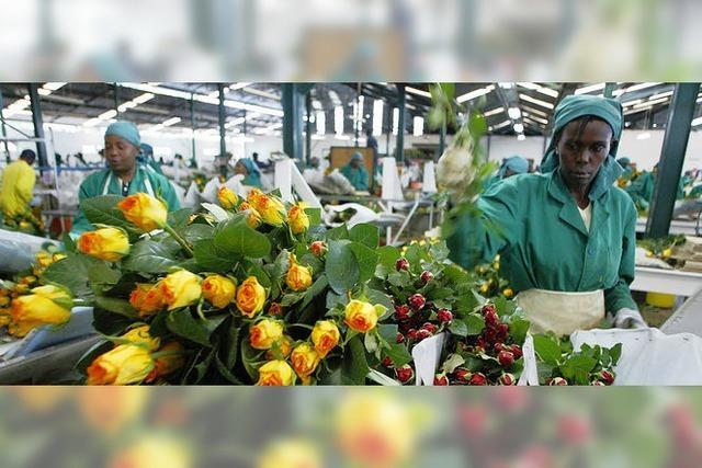 Deutsches Geld hilft beim Anbau fairer Rosen