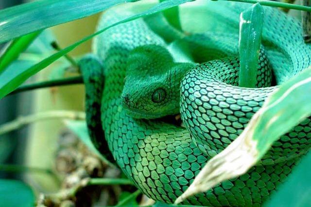 Vivarium-Team vermisst grüne Buschviper