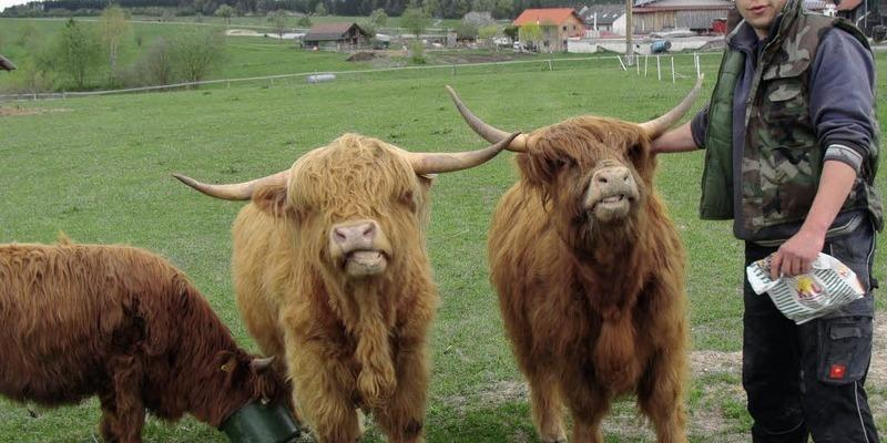 Kuh Mit Langen Haaren