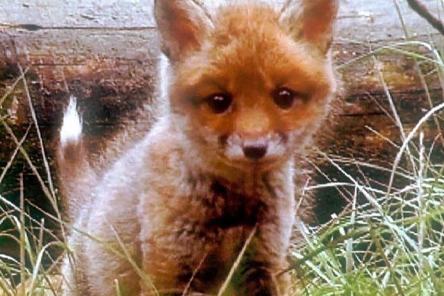 Feuerwehr rettet kleinen Fuchs aus Kanalisation