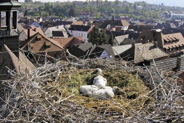Vier Störche blicken aus dem Nest