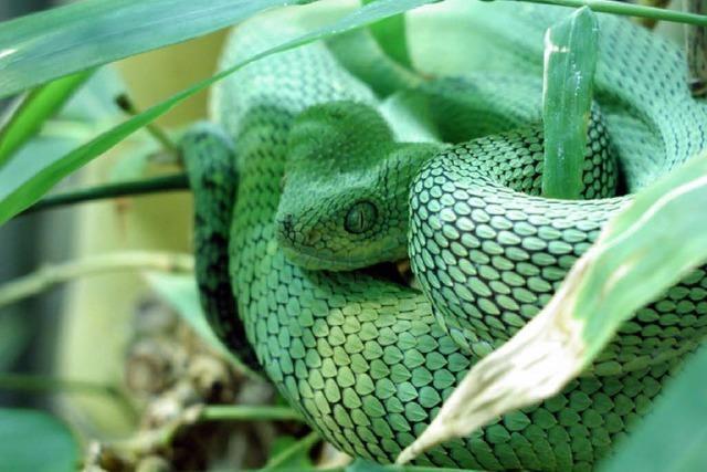 Vivarium: Grüne Viper wieder aufgetaucht