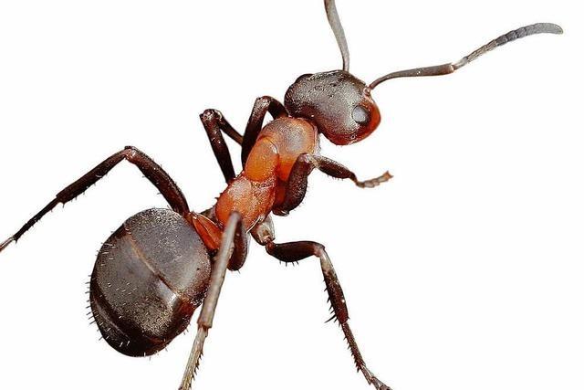 Ameisenverbrennung mit Folgen