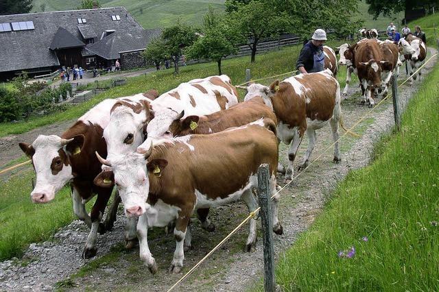 126 Rinder im Dienste des Tourismus
