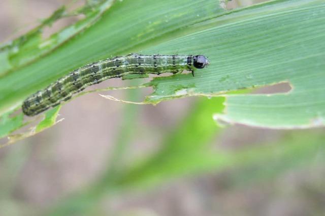 Ortenau: Raupen attackieren die Felder