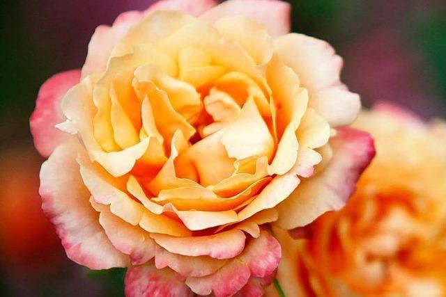 Mehrere tausend Besucher bei der Lahrer Rosenwoche