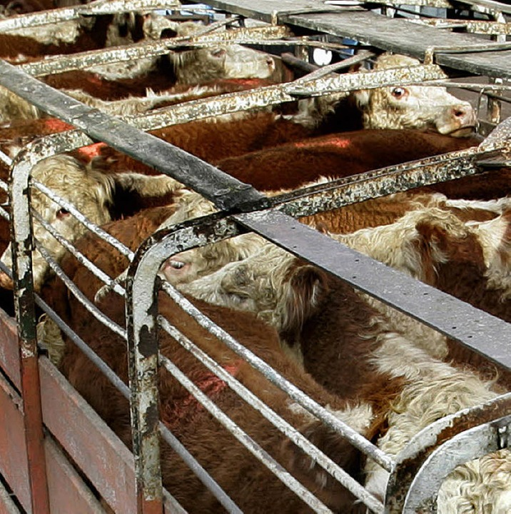 Nachschub für die Schlachter:  Rinder in Buenos Aires    Foto: AFP
