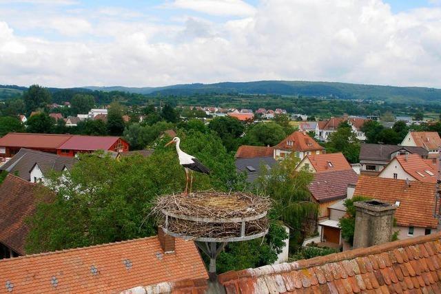 Storchendrama in Teningen
