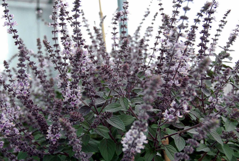 Herb-aromatische Schönheit: das African-Blue-Basilikum   | Foto: Heilemann