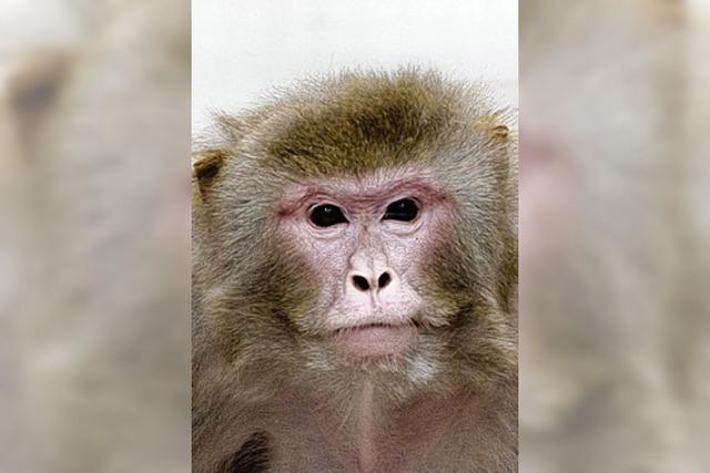 Hungrige Affen leben länger