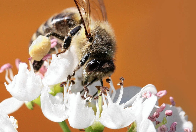 Rüssel rein: Biene beim Nektarsammeln   | Foto: dpa