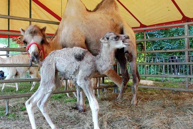Schönau ist jetzt auch Geburtsort eines Kamels