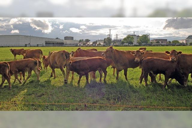 Saftige Weiden und zufriedene Kühe in der Industrielandschaft