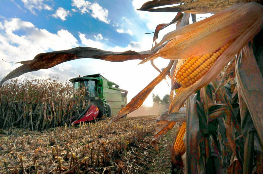 Mais wird auf immer mehr Feldern in Südbaden und im Elsass angebaut.  | Foto: Siegfried Gollrad