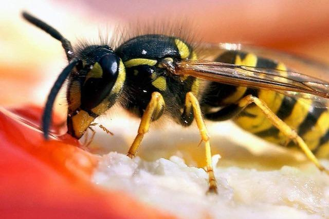 Hochsaison für Wespen: Jagdflieger im Biergarten