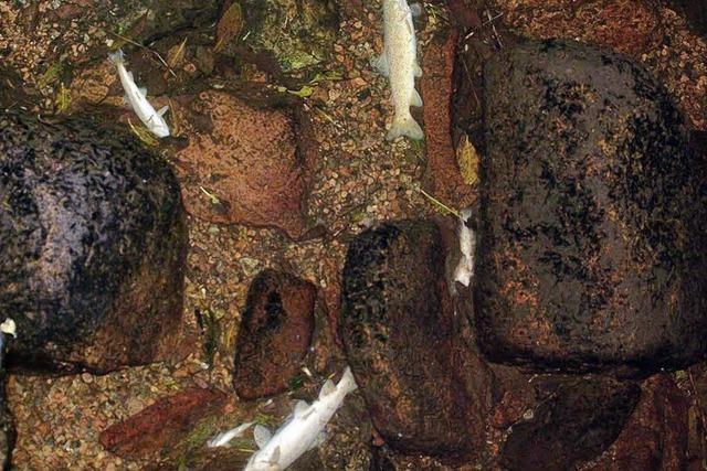 Bachforellen verenden im Urseebach