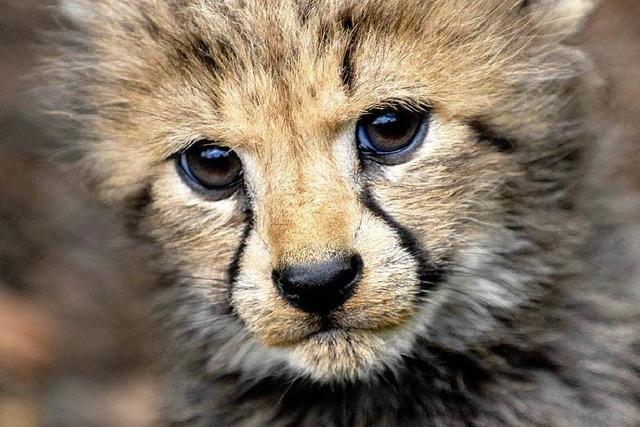 Seltener Zuchterfolg: Im Zolli werden drei junge Geparden geboren