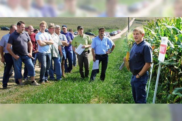 Strengere Auflagen für Maisanbau