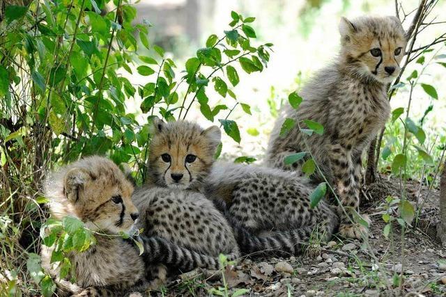 Geparden-Babys in Basel – kaum da und schon ausgebüxt