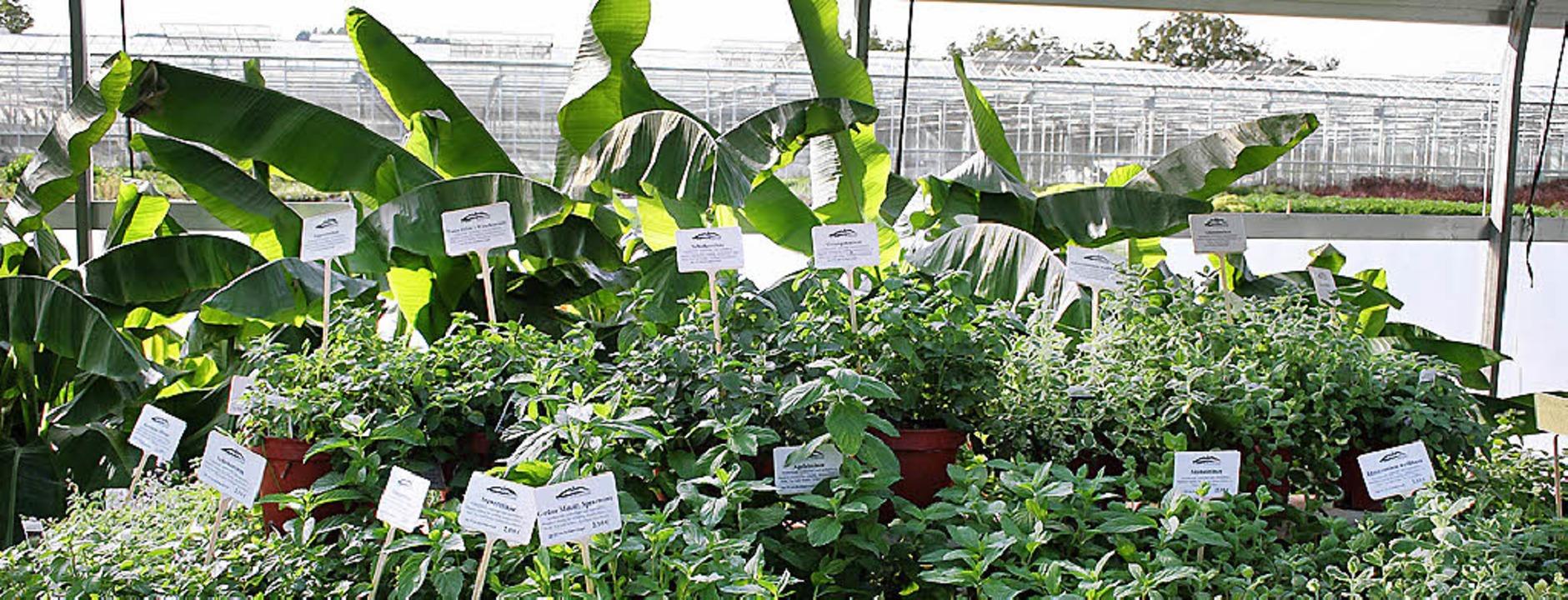 Bananenpflanzen umrahmen die Kräutervielfalt.   | Foto: Marx
