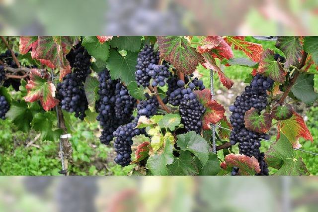 Dem Kaiserstühler Wein auf der Spur