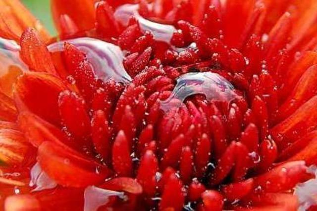 Die Chrysanthema in Lahr