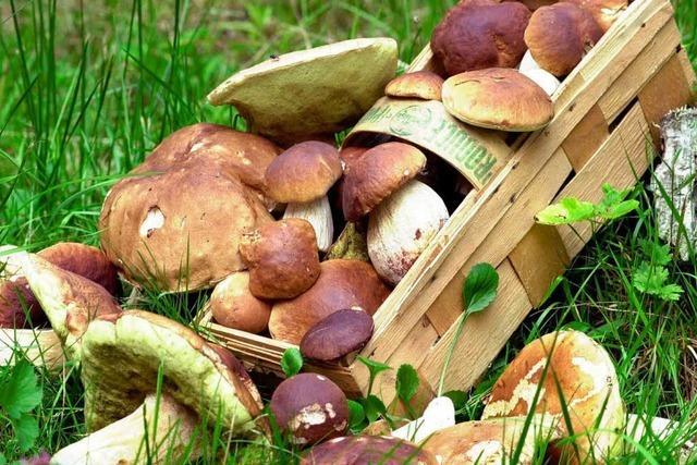 Trockenheit vermiest Pilzsammlern die Saison