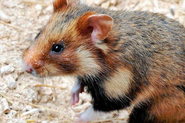 Rote Liste: Der Feldhamster ist vom Aussterben bedroht