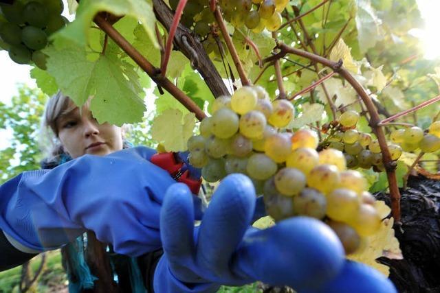 Video: Weinlese in Südbaden