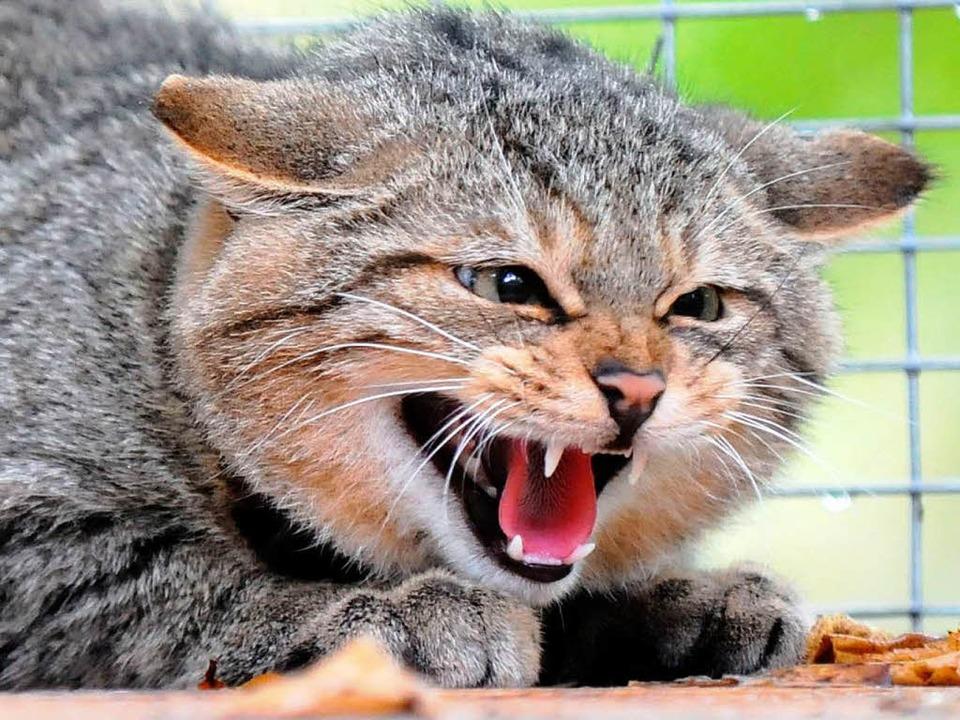 Wildkatzen galten im Land lange als ausgestorben.  | Foto: dpa