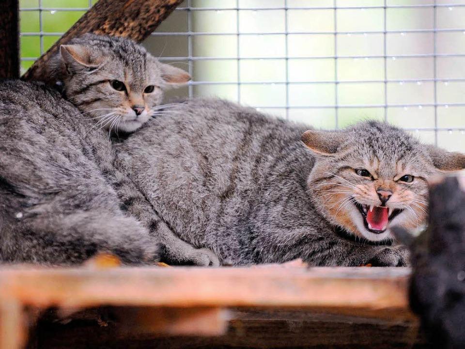 Die beiden Wildkatzen Hänsel  und Gret... Freigehege in einem Wald bei Rastatt.  | Foto: dpa