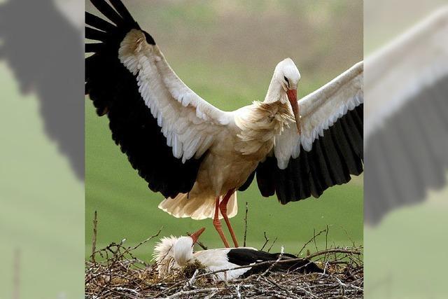 Streit unter Storchenschützern