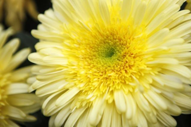 Video: Chrysanthema 2009 mit neuem Besucherrekord?