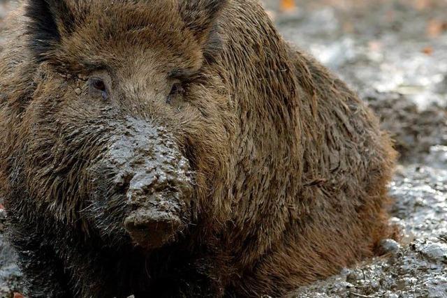 Jäger im Land schießen mehr Wildschweine als je zuvor