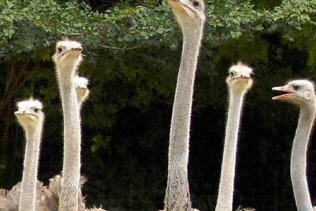 Balzzeit im Basler Zoo: Der Strauß wagt ein Tänzchen
