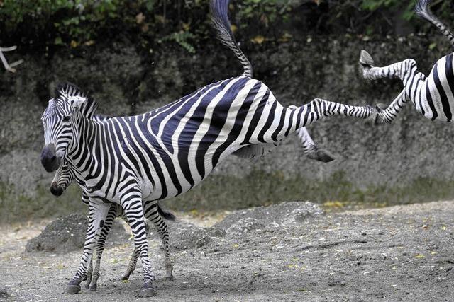 Warum Zebras Streifen haben