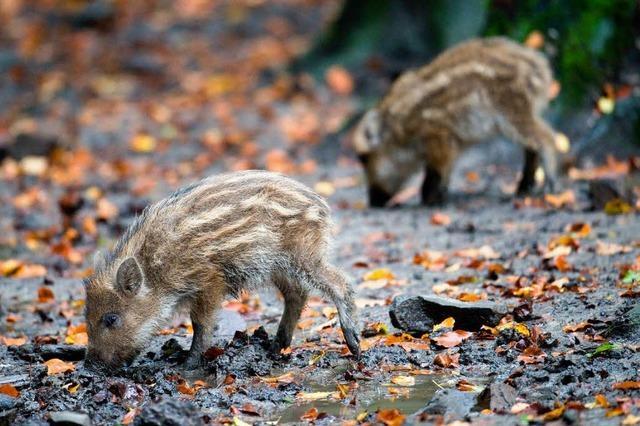 Wildschweinjagd: Frischlinge und Muttertiere im Visier