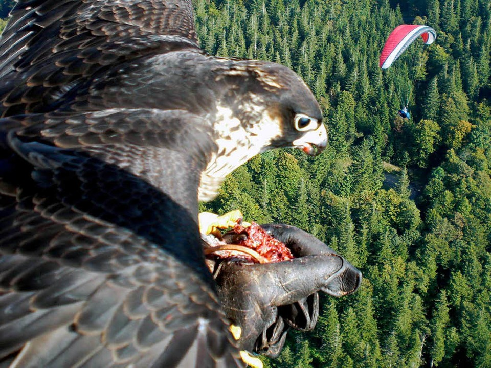 Ein Falke landet auf der Hand des Glei...ers.  Ein totes Küken dient als Köder.  | Foto: privat