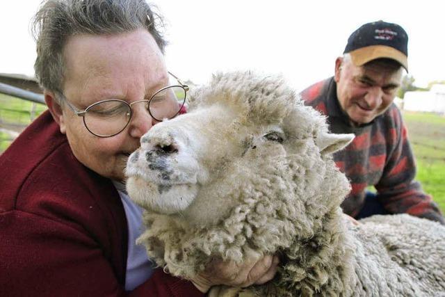 Ältestes Schaf stirbt wegen Hitzewelle