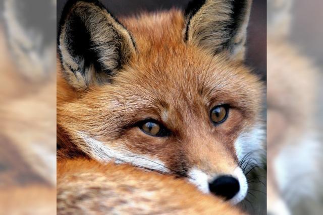 Fuchs wildert im Enkendorf